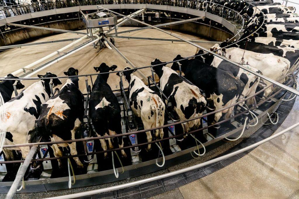 Αγελάδες-δούλες σε high tech εργοστάσια